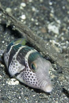 Free Pouting Pufferfish Royalty Free Stock Photography - 21164657
