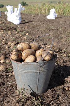 Free Potato Royalty Free Stock Photo - 21164885
