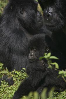 Free Mothering Gorilla Stock Image - 21164891