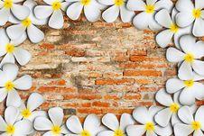 Frangipani Flowers Stock Photo