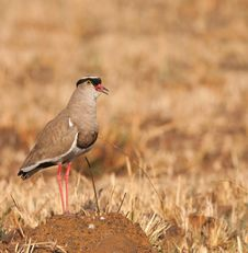 Free Lone Crowned Plover Royalty Free Stock Photos - 21165328