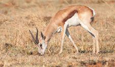 Springbok Ram Royalty Free Stock Photos