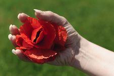 Sensual Poppy Flower Stock Images