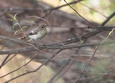 Free A Hidden Pied Flycatcher Royalty Free Stock Photos - 21165378