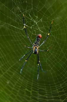 Free Golden Orb-web Spider Stock Images - 21165404