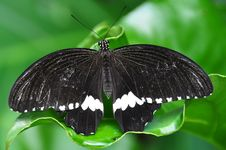 Male Common Mornmon Butterfly Royalty Free Stock Photos