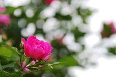 Free Pink Rose Bloom Royalty Free Stock Image - 21166956