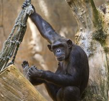 Free Chimp Royalty Free Stock Photo - 21167095