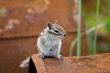 Free Chipmunk Stock Photography - 21168192