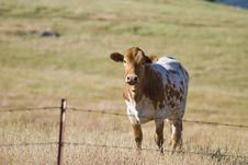 Free California Cow Royalty Free Stock Photos - 21168228