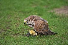 Free Falcon Eating Prey Royalty Free Stock Images - 21168549
