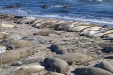 Free Elephant Seals Stock Images - 21168904