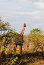 Free Pregnant Giraffe In South Africa Stock Images - 21171404