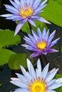 Free Close-up Of Beautiful Violet Lotus Stock Image - 21174941