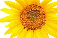 Free Sunflower Royalty Free Stock Image - 21170276