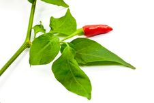 Free Chili Pepper With Leaf Royalty Free Stock Photos - 21170548
