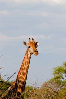 Free Muzzle Of African Giraffe Stock Photos - 21171393
