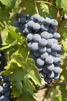 Free Bunches Of Red Grapes Royalty Free Stock Photo - 21172055
