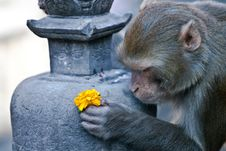 Monkey Offers A Flower Royalty Free Stock Photos