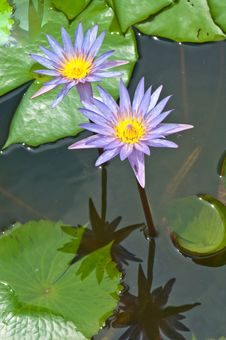 Free Close-up Inside Of Beautiful Violet Lotus Royalty Free Stock Photos - 21174868
