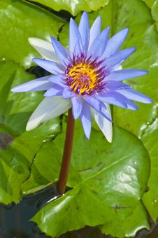 Free Close-up Of Beautiful Violet Lotus Stock Photography - 21175032