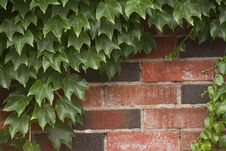 Free Ivy Growing On Brick Wall Royalty Free Stock Photos - 21175048