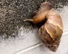 Free Snail Show A Slow Life And Slow Business Royalty Free Stock Images - 21175809