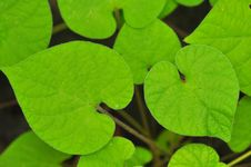 Free Heart-shaped Green Leaves Stock Image - 21176721