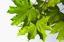 Free Green Maple Leaves Stock Photos - 21176873