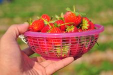 Free Fresh Strawberries In The Basket Royalty Free Stock Photo - 21177545