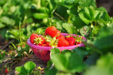 Fresh Strawberries In The Basket Royalty Free Stock Images