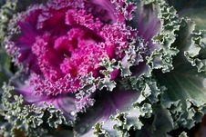 Free Floral Cabbage Royalty Free Stock Photos - 21178388