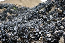 Free Mussel Shells On Wet Rock Stock Images - 21178704
