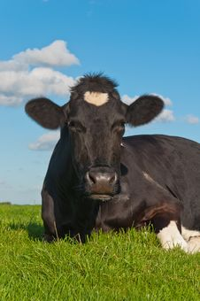 Free Portrait Of Resting Black Spotted Cow Stock Photos - 21178893