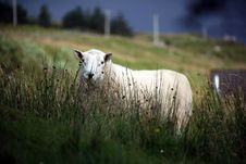 Free Sheep In Farm Stock Photos - 21179583