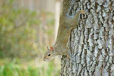 Free Squirrel Stock Photo - 21179820