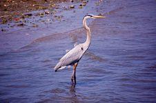 Free Blue Heron Royalty Free Stock Image - 21179826
