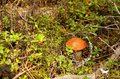 Free Orange-cap Boletus Mushroom Royalty Free Stock Photo - 21180385