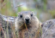Free Cute Young Marmot Royalty Free Stock Image - 21180366