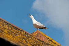 Free Seagull In Port Isaac Royalty Free Stock Photos - 21180668
