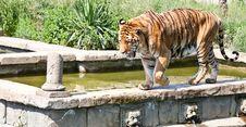 Free Walking Tiger (Panthera Tigris) Stock Photography - 21181042