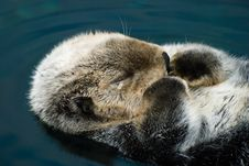 Free Tender Crying Otter Stock Photography - 21181102