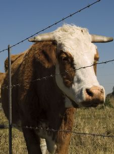 Free Barbed Wire Restraining Fence To Restrain Cows Royalty Free Stock Images - 21181279