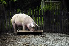 Free Little Piggy Stock Photography - 21181282