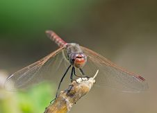 Free Dragonfly On A Branch Royalty Free Stock Photo - 21182395