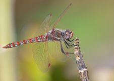 Free Dragonfly On A Branch Stock Images - 21182654