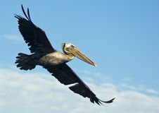 Brown Pelican In Flight Royalty Free Stock Photos