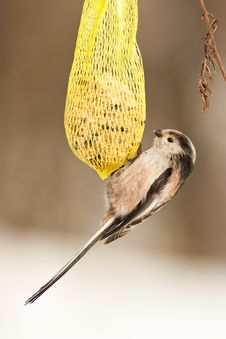 Free Long-tailed Tit Stock Image - 21186081