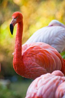 Free Pink Flamingo Royalty Free Stock Image - 21186536
