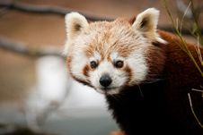 Free Panda Red Royalty Free Stock Images - 21186589